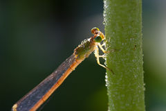 Dragonfly staying on a stem. Close up of a dragonfly staying on a stem Royalty Free Stock Photos