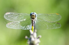 Dragonfly. Stays on a grass Royalty Free Stock Image
