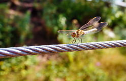 Dragonfly on a steel cable,  green background Stock Image