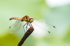 Dragonfly on the stem. Stock Photo