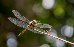 Dragonfly on a stem. Close-up shot of a dragonfly perched on a stem Royalty Free Stock Photos