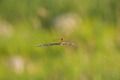 Dragonfly on stem Royalty Free Stock Photos
