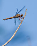 Dragonfly on a stick. A Dragonfly (Anisoptera) rests on a stick at the Tingana nature reserve in northern Peru royalty free stock photography