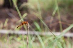 Dragonfly on a stick Stock Photo