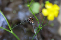 Dragonfly Royalty Free Stock Photos