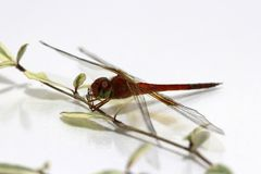 Dragonfly on the stick of Terminalia ivorensis tree and on the white background. royalty free stock photo