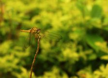 Dragonfly on a stick with yellow and green background natures beauty stock image