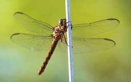 Dragonfly. Still on Green Background Stock Photography