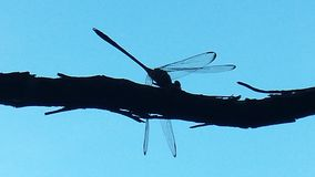 Dragonfly Stillouette Obrazy Royalty Free