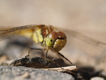 Dragonfly on a stone Stock Image