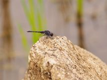 Dragonfly with Stone. Black Dragonfly on the rock Stock Photos