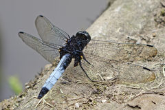 A dragonfly on the stone. Royalty Free Stock Images