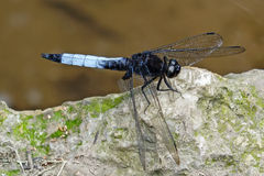 A dragonfly on the stone. Stock Images