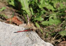 Dragonfly on stone stock photography