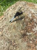 Dragonfly on stone stock images