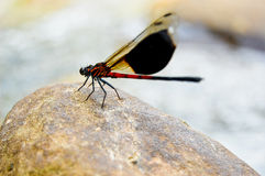 Dragonfly On Stones Stock Images