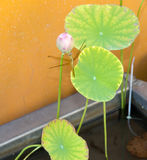 Dragonfly stop on lotus bud Stock Image