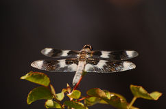 Dragonfly with striped wings Royalty Free Stock Photography