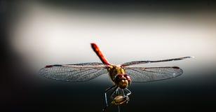 Dragonfly strona zaświecająca Obrazy Stock