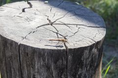 Dragonfly on the stump Stock Photography