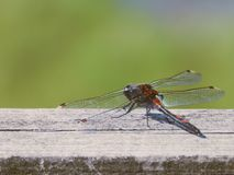 Dragonfly. In summer Stock Image