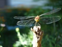 Dragonfly summer background Stock Photos