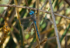 Dragonfly in summer Royalty Free Stock Photo