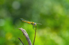 The dragonfly on the summer grass Stock Photos