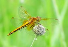 Dragonfly and summer. The dragonfly sits has a rest on a green small stalk of a plant Royalty Free Stock Images