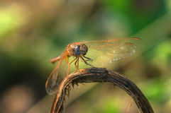 Dragonfly during summertime /Sympetrum fonscolombii Royalty Free Stock Image