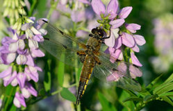 Dragonfly in sun on flower Stock Photography