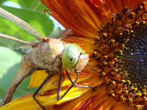Dragonfly on a sunflower Royalty Free Stock Photo