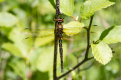 Dragonfly. A dragonfly sunning on a branch in Littlefork, MN Stock Photography