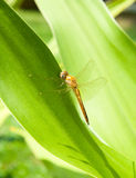 A dragonfly Stock Images