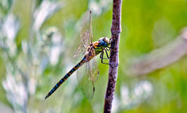 Dragonfly  in a sunny summer day. Royalty Free Stock Photos
