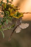 Dragonfly in sunrise Royalty Free Stock Images