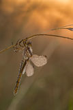 Dragonfly in sunrise Stock Image