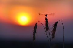 Dragonfly. Sunset Royalty Free Stock Photography