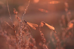 Dragonfly at sunset Stock Photo