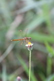 Dragonfly. Is swarming , grass flower , suck pollen Stock Images