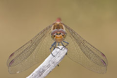 Dragonfly. Sympertrum striolatum on the tree Stock Photography