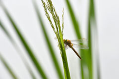 Dragonfly Sympetrum close-up sitting on the grass Royalty Free Stock Photography