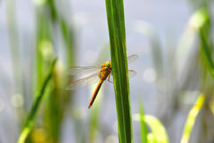 Dragonfly Sympetrum close-up sitting on the grass Royalty Free Stock Images