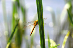 Dragonfly Sympetrum close-up sitting on the grass Stock Images
