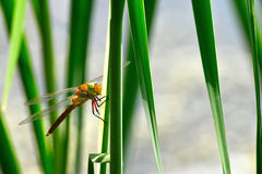 Dragonfly Sympetrum close-up sitting on the grass Royalty Free Stock Image