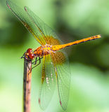 Dragonfly Sympetrum flaveolum. Dragonfly on a background of green grass sitting on a branch Royalty Free Stock Images
