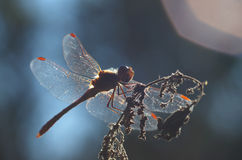 Dragonfly Sympetrum flaveolum - close up. Beautiful close up with dragonfly with backlight in blue color Stock Images