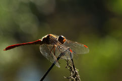 Dragonfly Sympetrum flaveolum - close up. Beautiful close up with dragonfly with backlight and bokeh Stock Photos