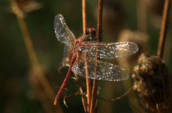 Dragonfly Sympetrum flaveolum - close up. Beautiful close up with dragonfly with drops of dew on the wings and soft yellow background Royalty Free Stock Images