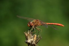 Dragonfly Sympetrum flaveolum - close up. Beautiful close up with dragonfly with green background Stock Photography